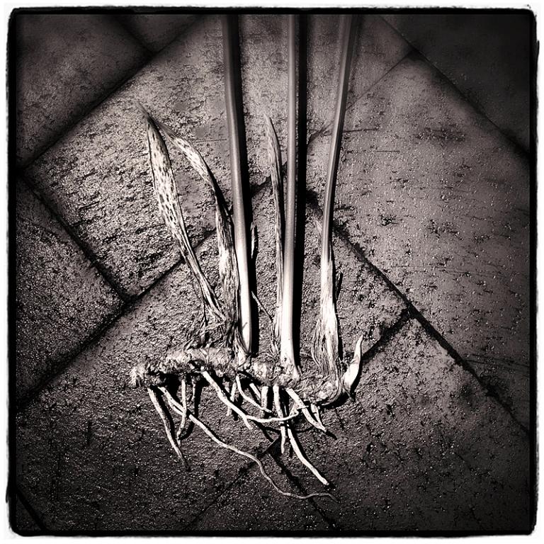 Cast-Iron Plant Wk Img Blog iDiarist