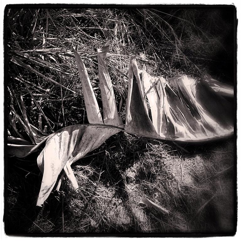 Dried Bird of Paridise Leaf Blog iDiarist